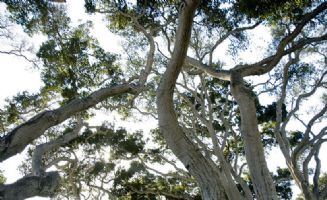 Trees, Monterey Fairgrounds, MJF