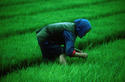 Woman, Rice Paddy, China